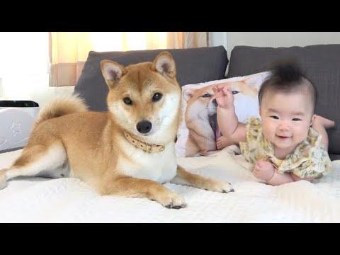 赤ん坊を見守る柴犬