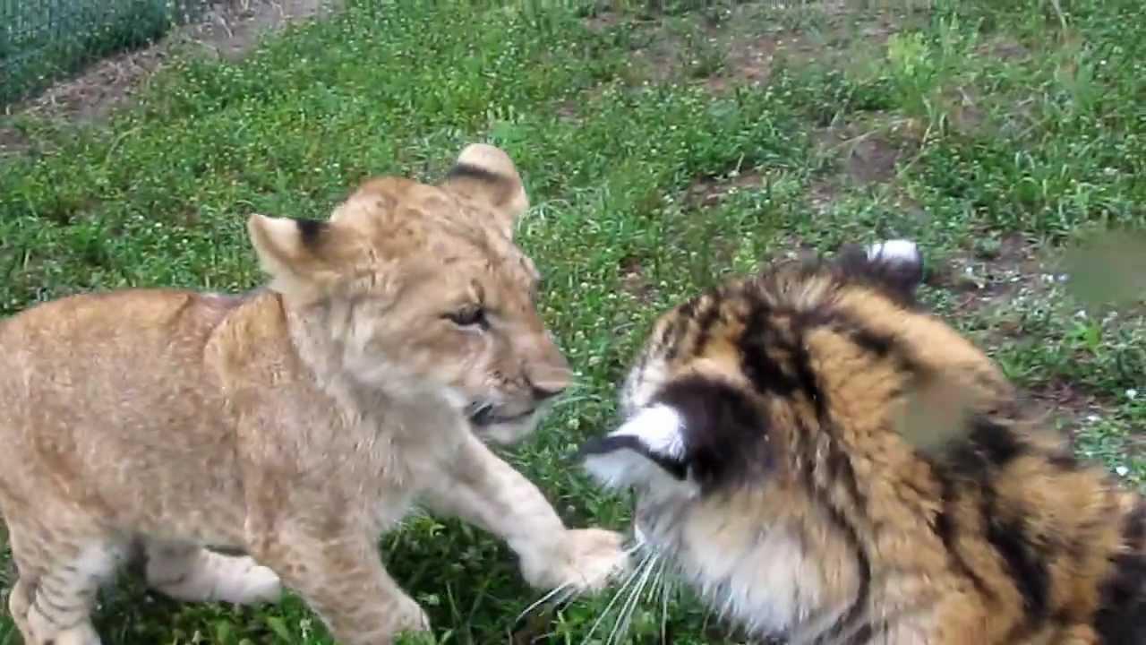 子虎と子ライオンのじゃれ合いがカワイイ