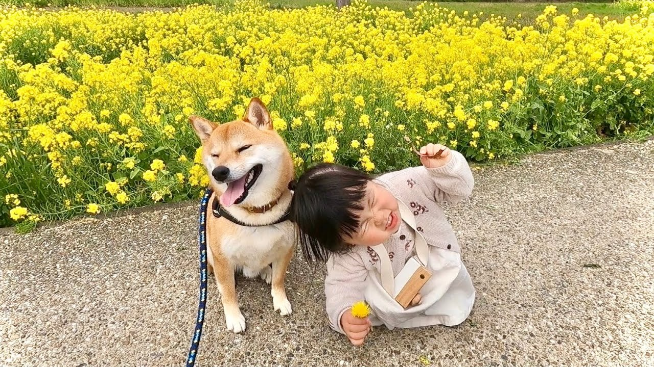 菜の花をバックに娘と一緒に柴犬の散歩