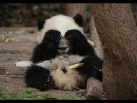 木登りをする子供のパンダをたしなめるその母親