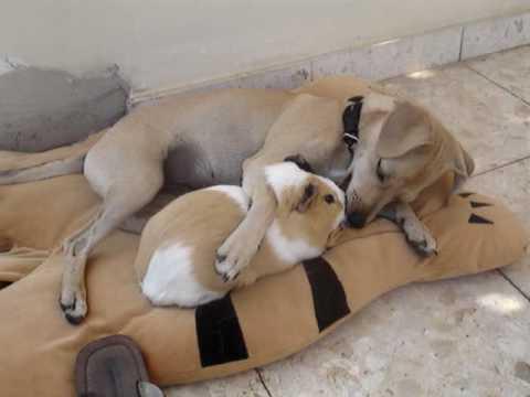 犬とモルモットは大の仲良し