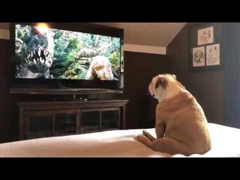「恐竜もドンキーコングも俺がまとめて退治してやる」映画に夢中なブルドック