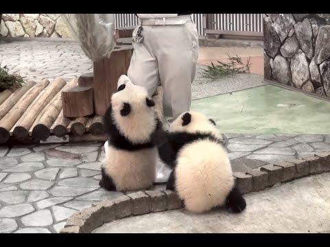 「遊んでよー」と飼育員さんの邪魔をする赤ちゃんパンダたち