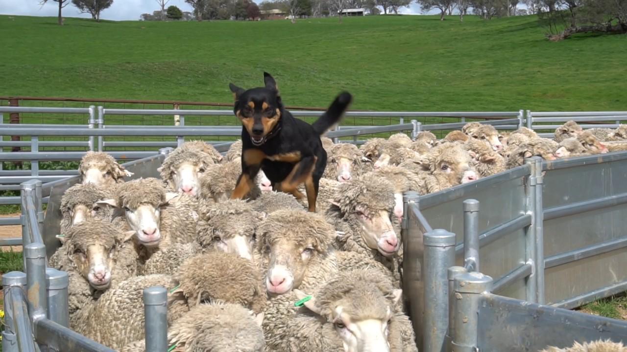 ヒツジの背中を駆け抜ける牧羊犬!