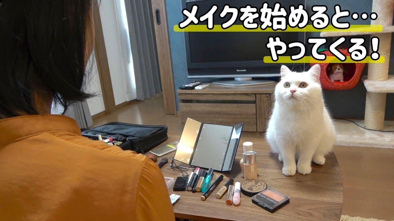 猫ちゃんの不思議な習性!?メイク好きな猫ちゃん!