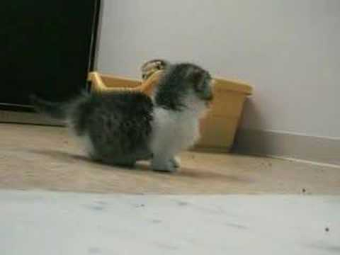 短足マンチカン子猫による癒し動画