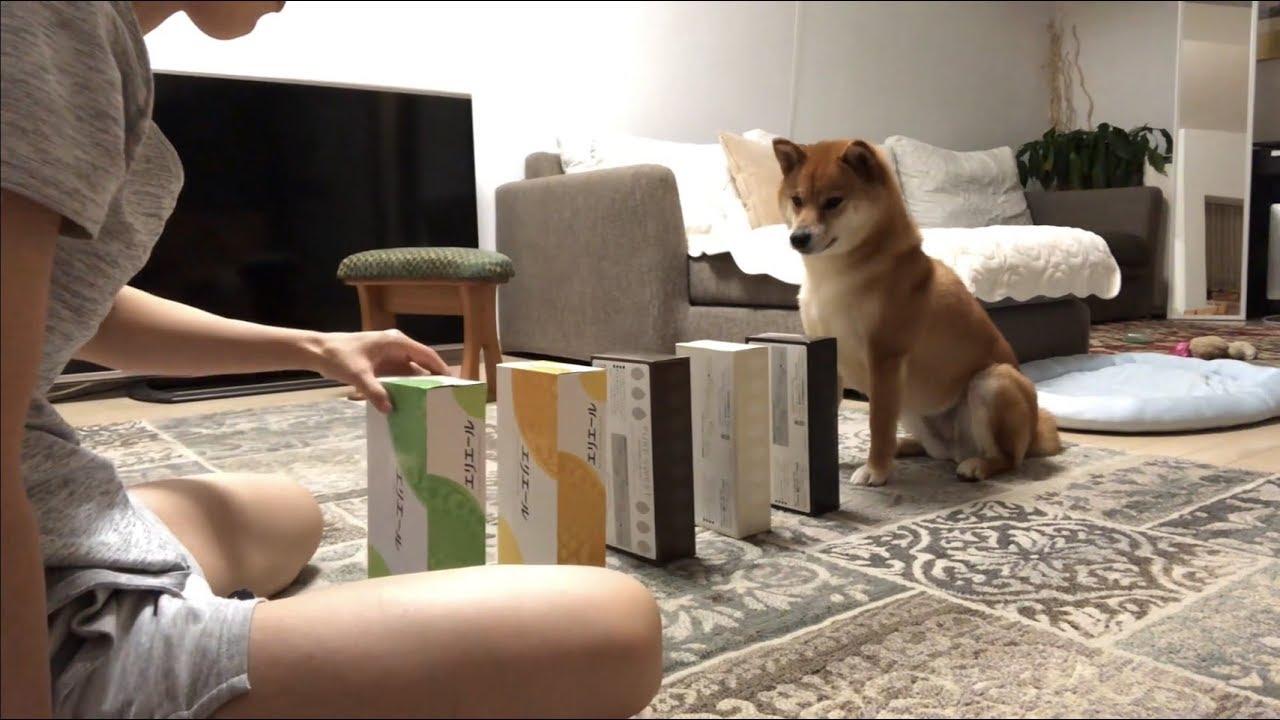 とても賢くて可愛い柴犬のゆきちゃん