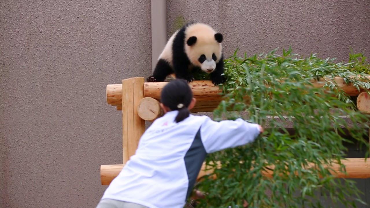 かまってちゃんパンダと飼育員さんの攻防
