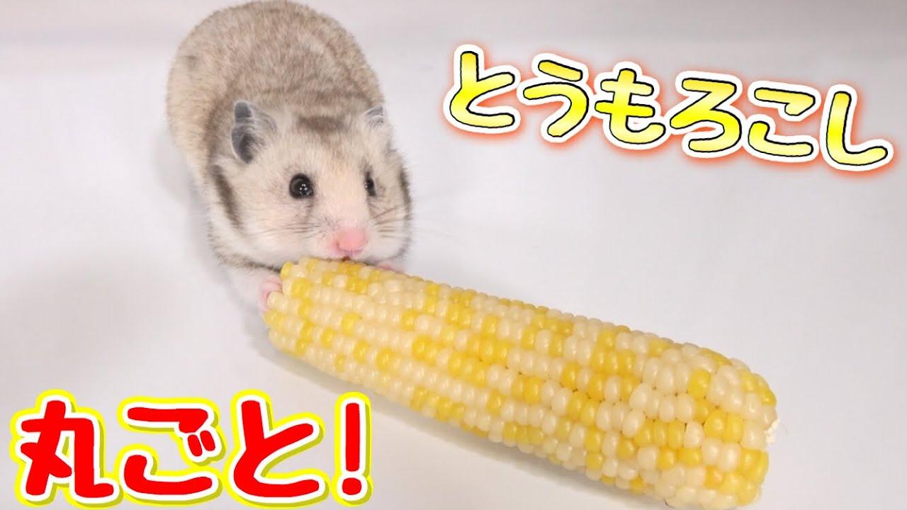 ハムスターがとうもろこしを食べる姿が超かわいい!