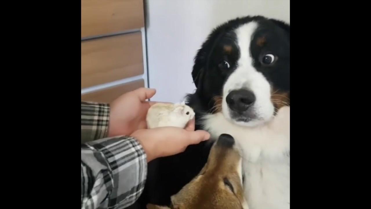 どうしてキミがそんなに怯えているの? 犬vsハムスター