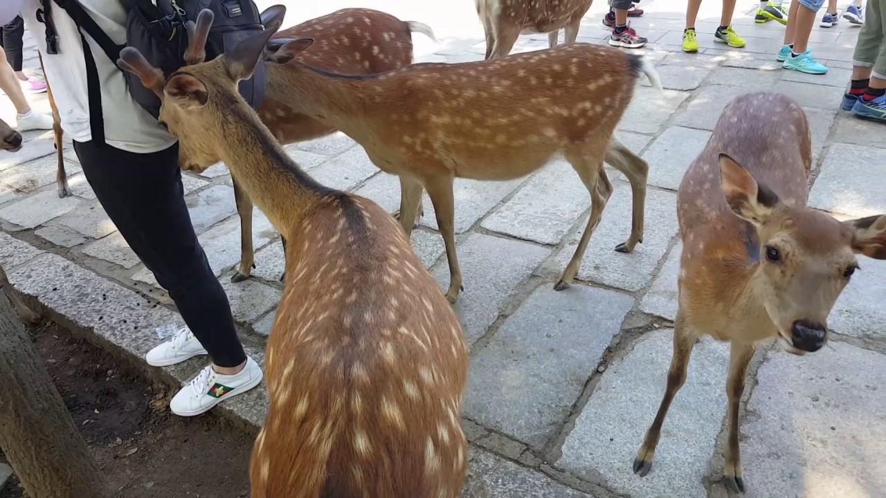 奈良公園は、鹿が多いため外国人から好評です