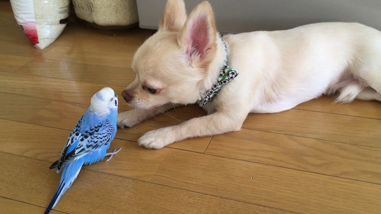 犬とじゃれ合うインコの姿がおもしろい