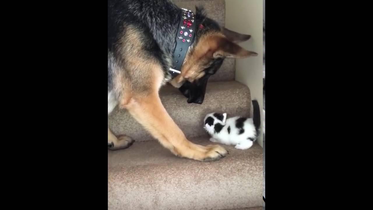 子猫を階段上まで運んでいく大型犬