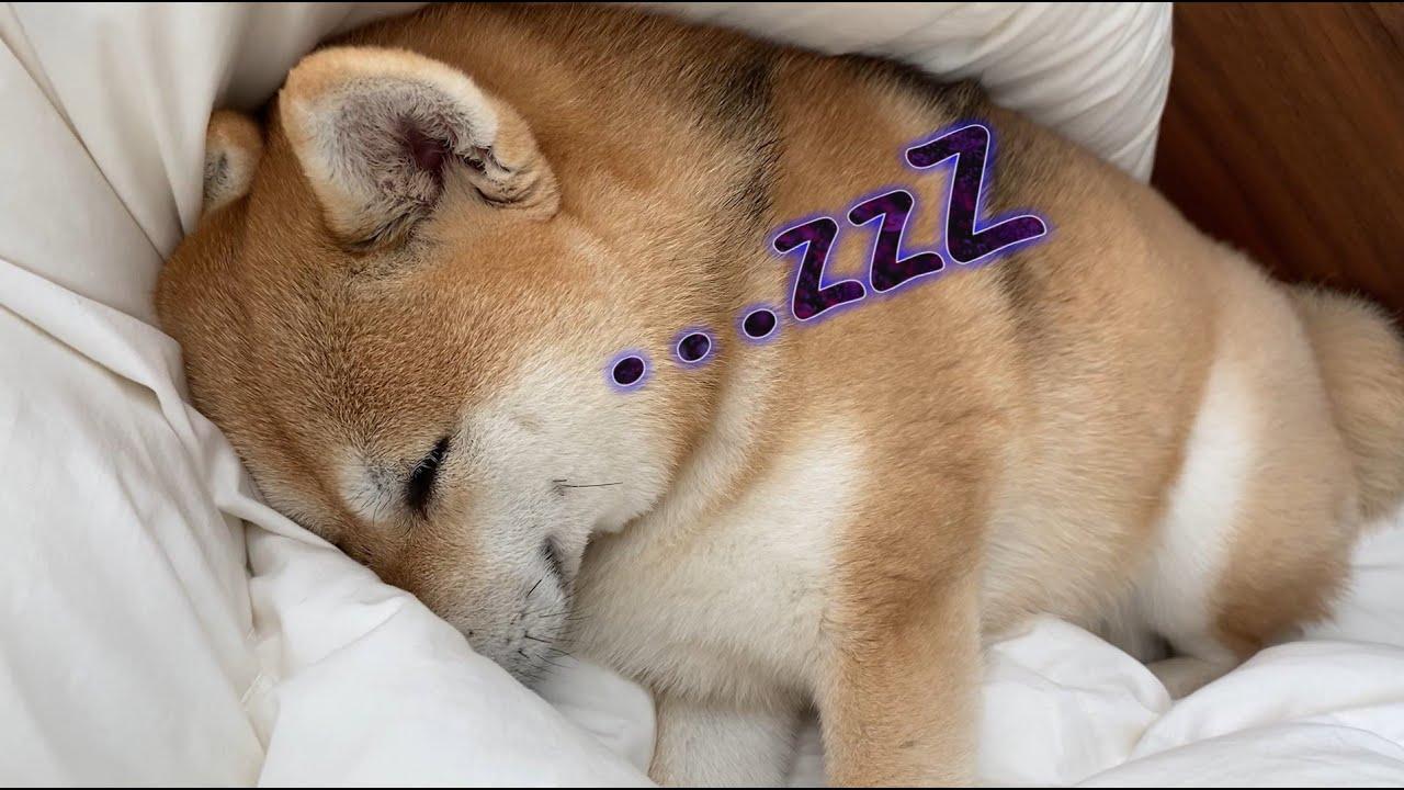 飼い主に寄り添う形で眠る柴犬