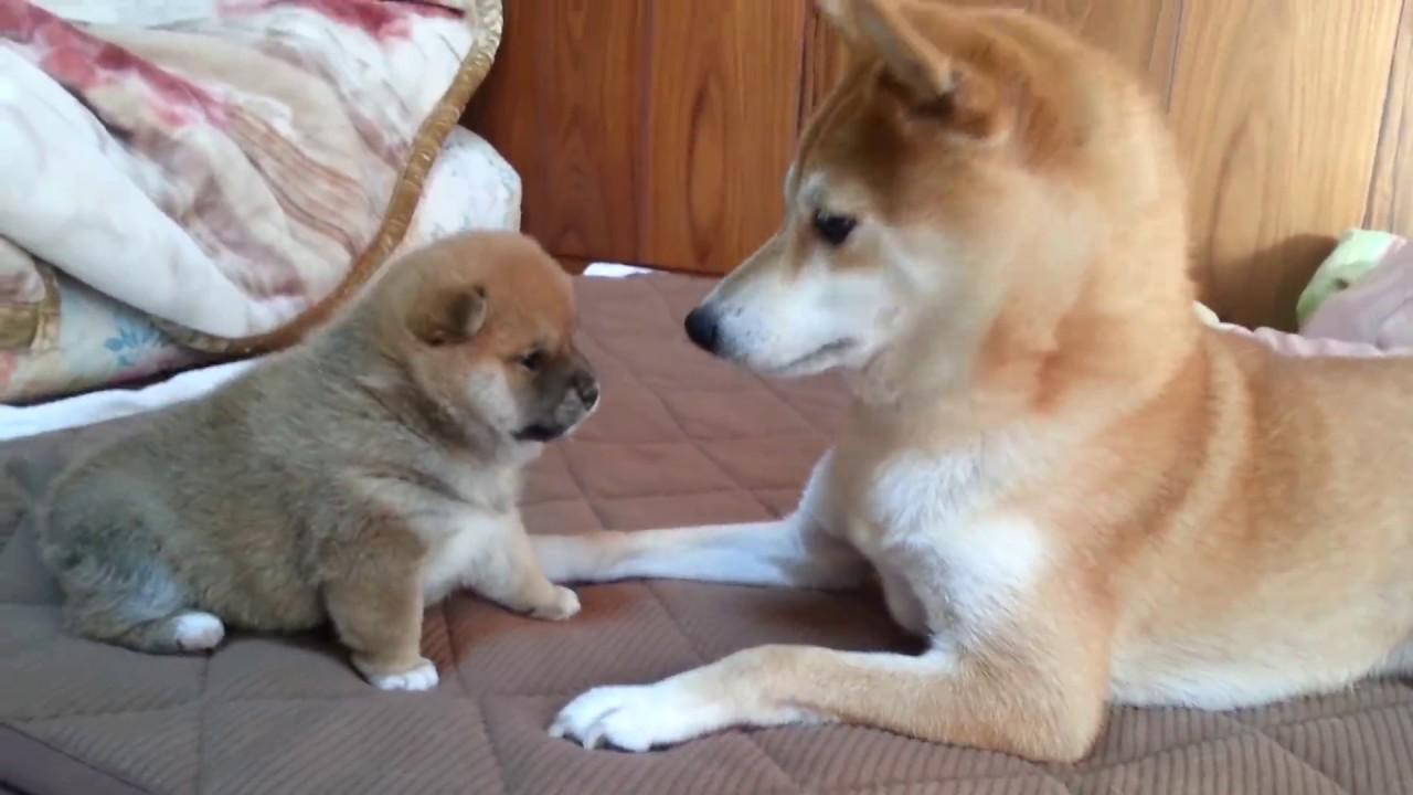 赤ちゃん柴犬の繰り出すパンチにタジタジの大人柴