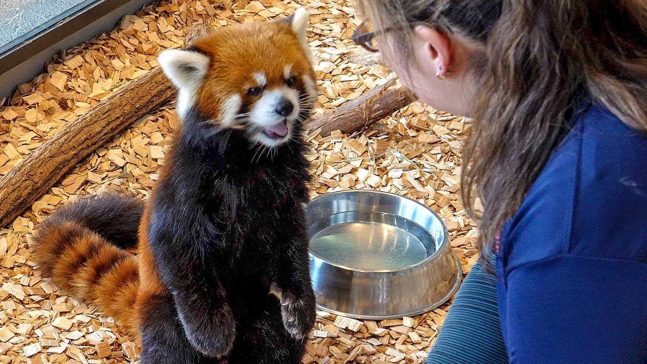 レッサーパンダの二本足で立って食べる姿が可愛すぎる