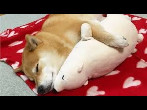とってもカワイイ柴犬と子犬の動画まとめてみましたッ!