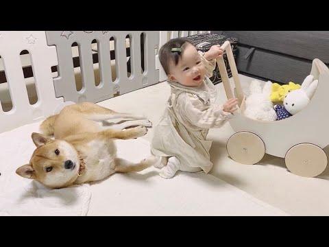 赤ちゃんは手押し車とり柴犬がお好き
