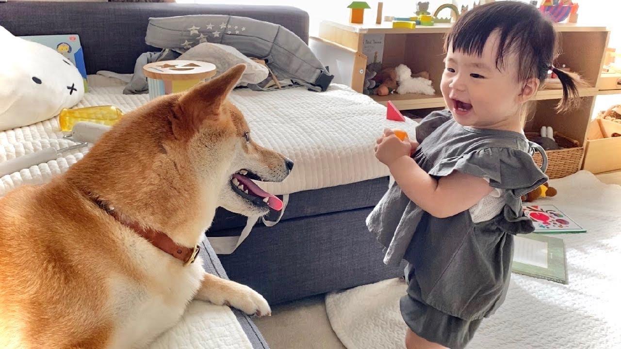柴犬とボール遊びがしたい1歳児
