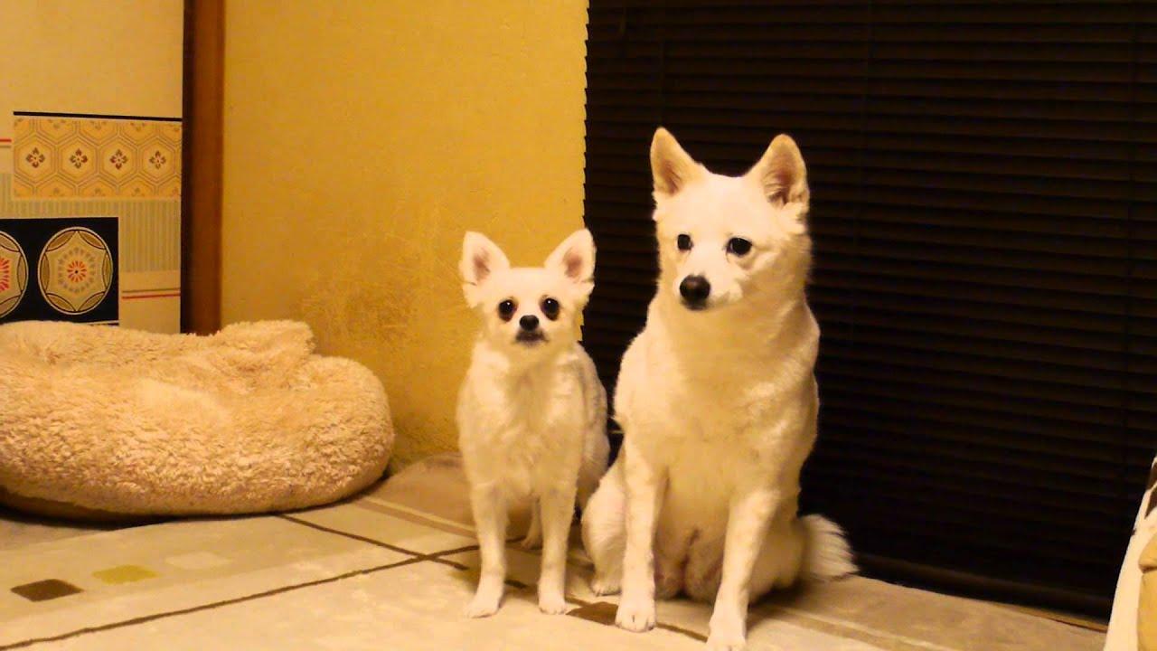 小型犬に絡まれる中型犬!