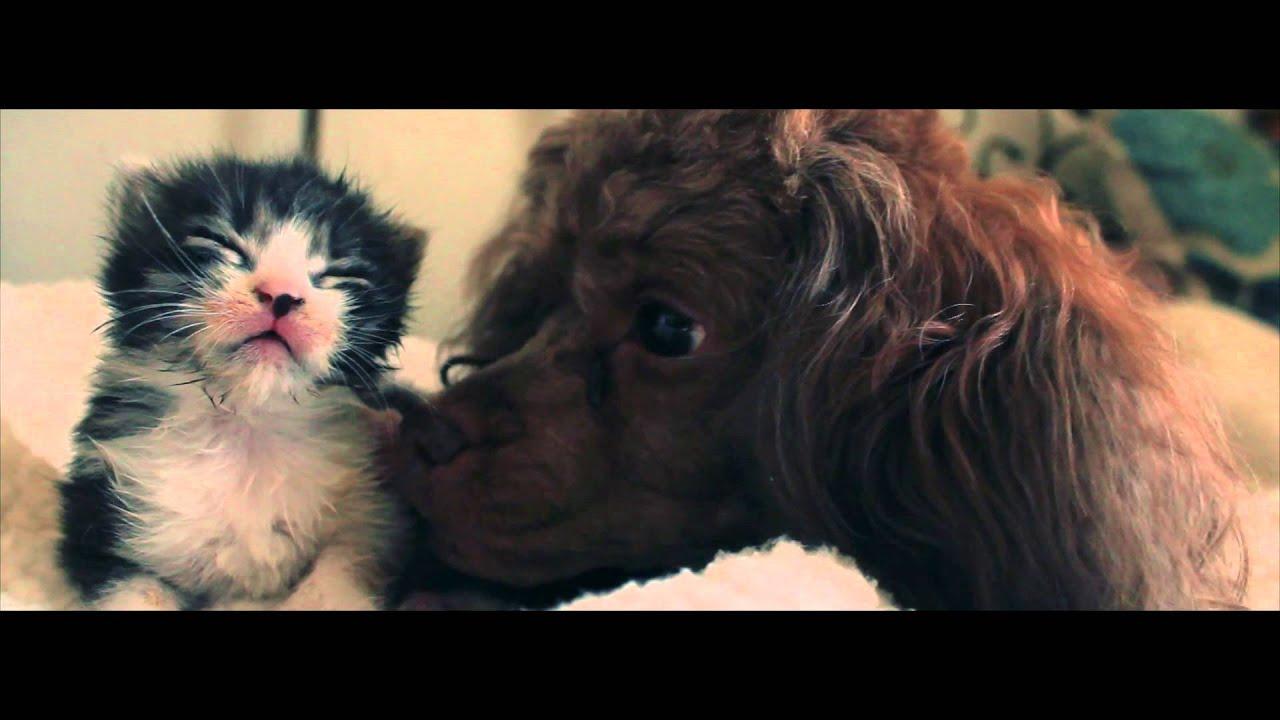 産まれたての子猫の世話をするプードル犬