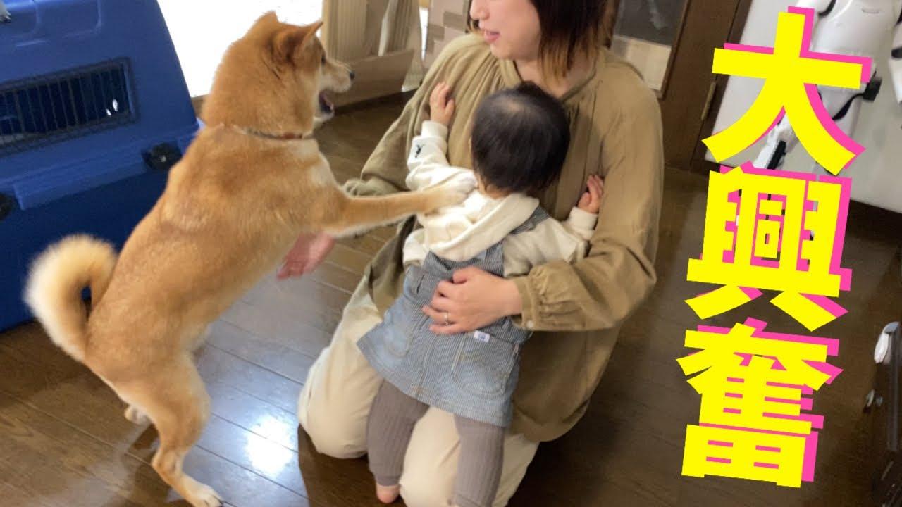 ママが仕事から帰宅すると喜びの舞を見せる柴犬