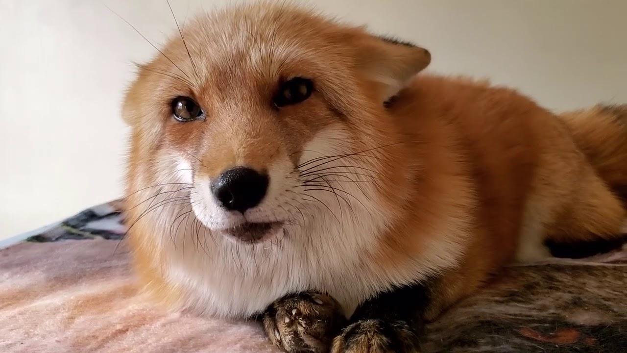 警戒心の消えない狐