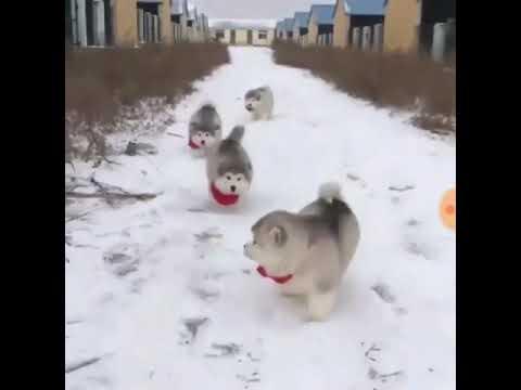 雪道を駆けるアラスカン・マラミュートの子犬たち