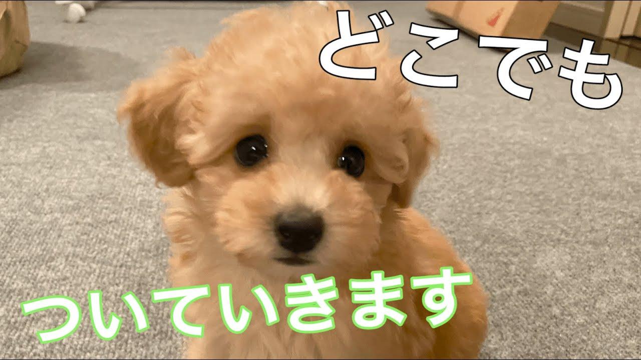 引っ付き虫モードの子犬