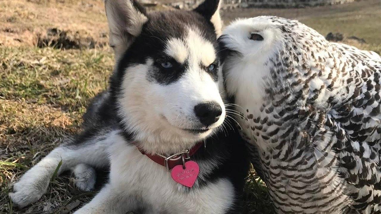 フクロウと仲良しなシベリアンハスキー
