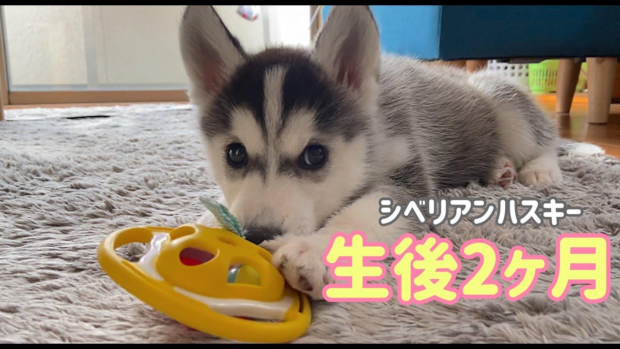 人懐っこいシベリアンハスキーの子犬