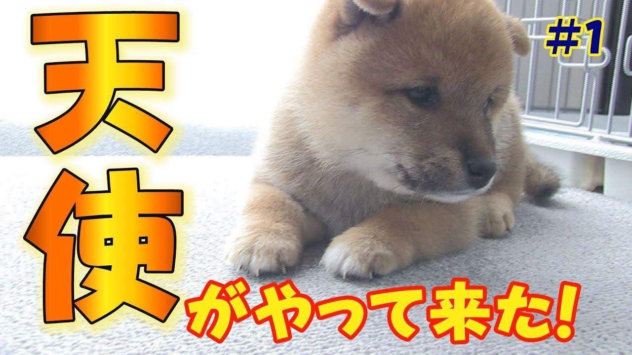 ぽっちゃり豆柴子犬が可愛すぎる件