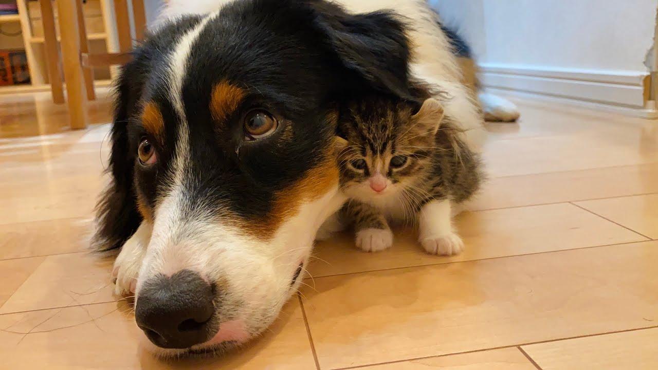 大型犬にぴったりくっついて寝ている子猫の可愛さに悶えた!