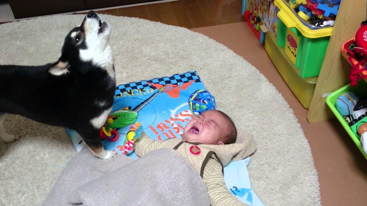 黒柴と人間の赤ちゃんの泣き声コラボが可愛らしい