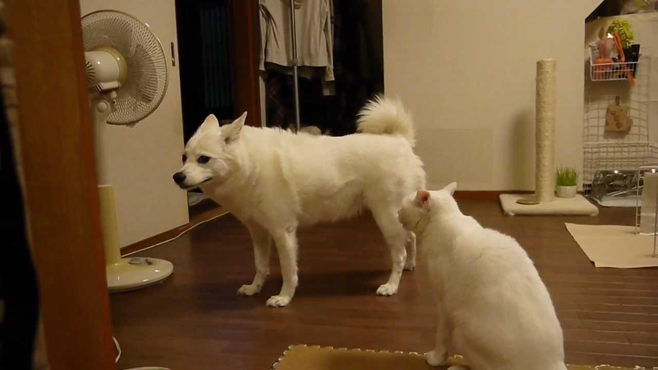 白猫にタジタジの白犬