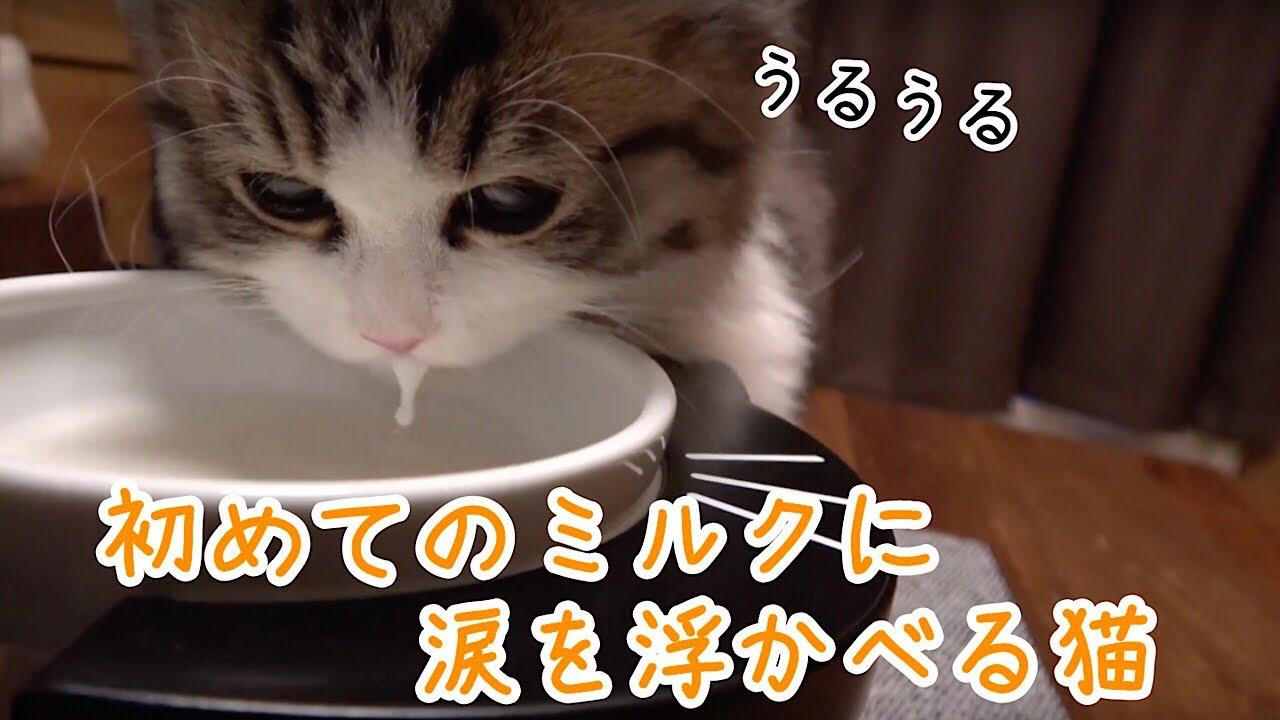 猫ミルクが美味しすぎてうっとりの猫さん