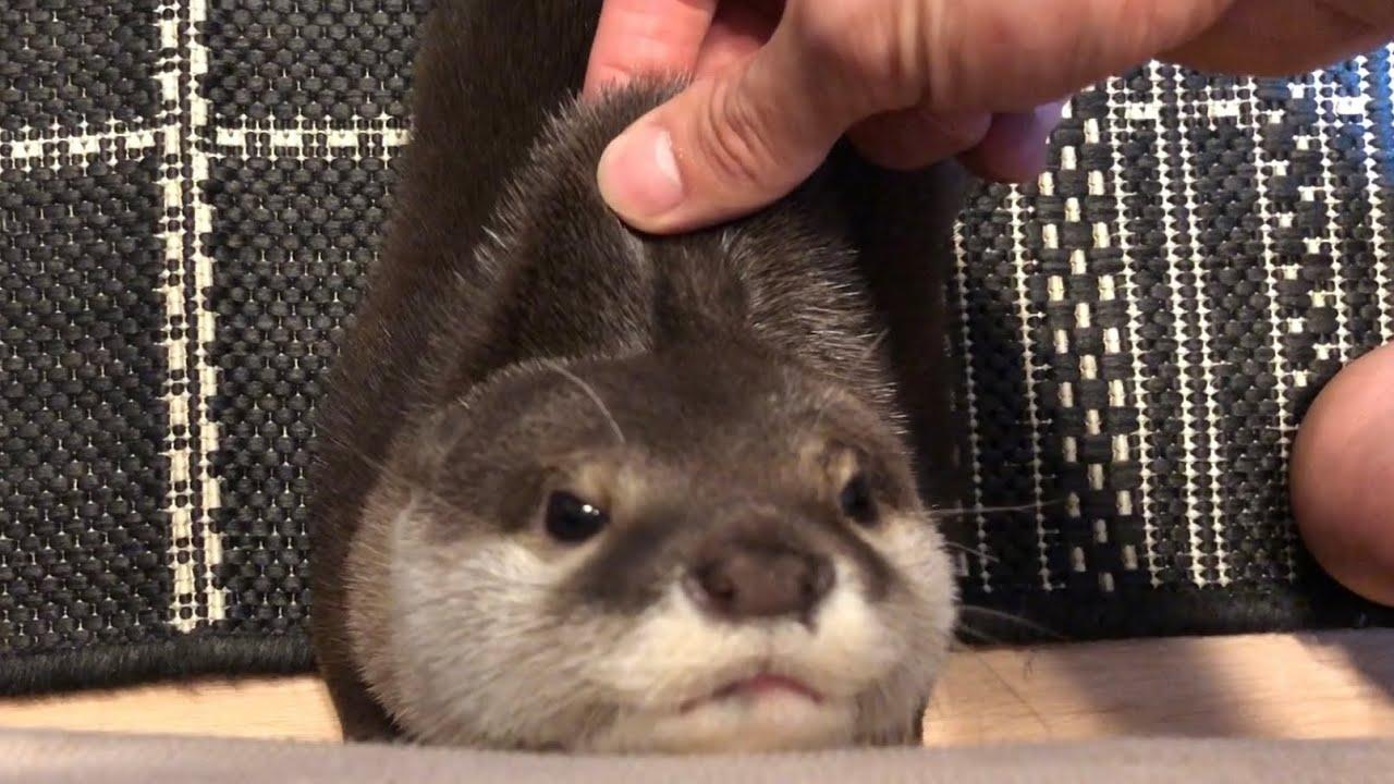 ラブリーなカワウソさくらちゃんの癒し動画