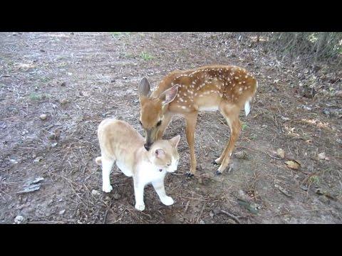 子鹿と子猫は大の仲良し!