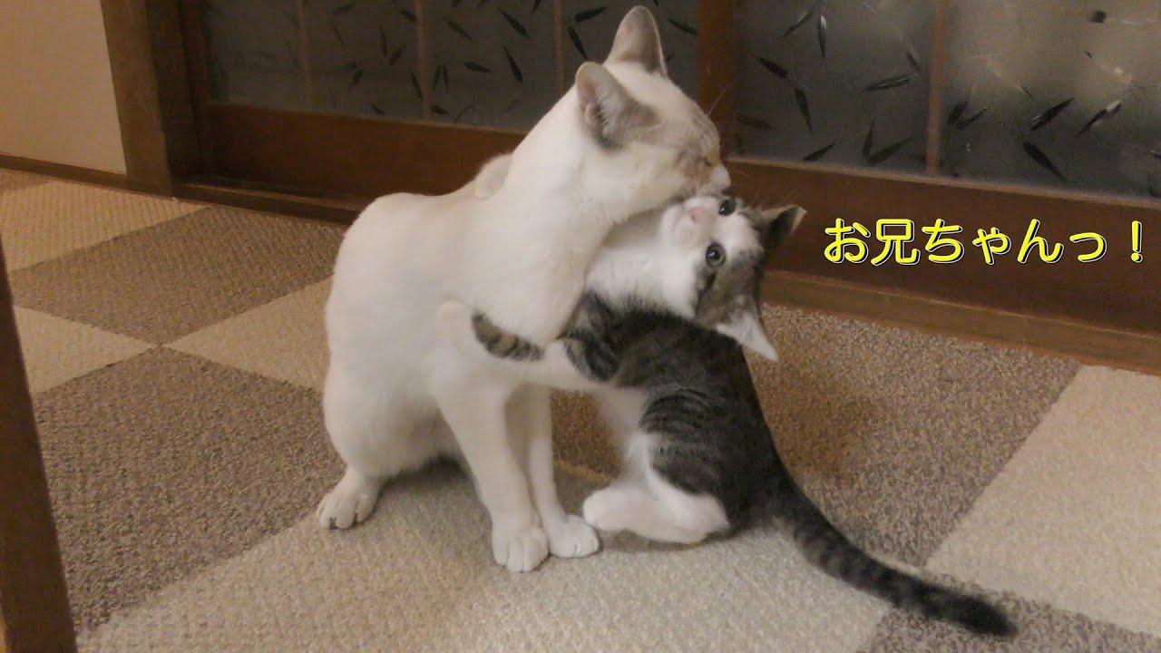 「お兄ちゃん遊んでー」お兄ちゃん猫が大好きすぎる子猫に癒やされる